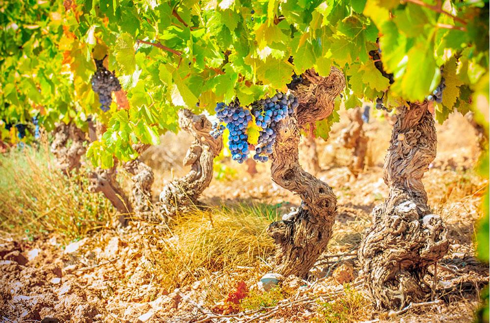 caves bérigny pied vigne